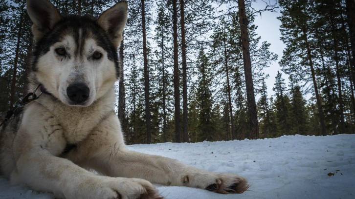 A day out dog-sledding was a highlight of my trip to Swedish Lapland.