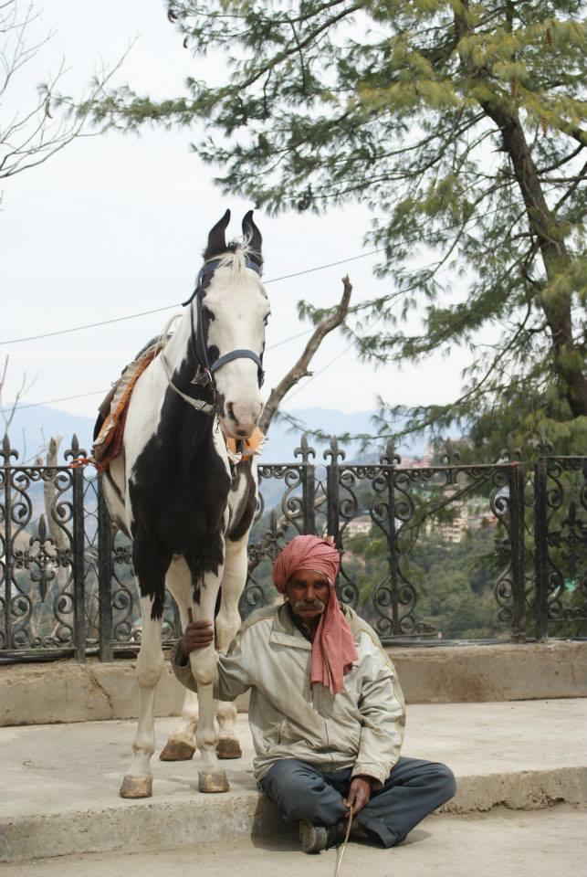 horse, Shimla