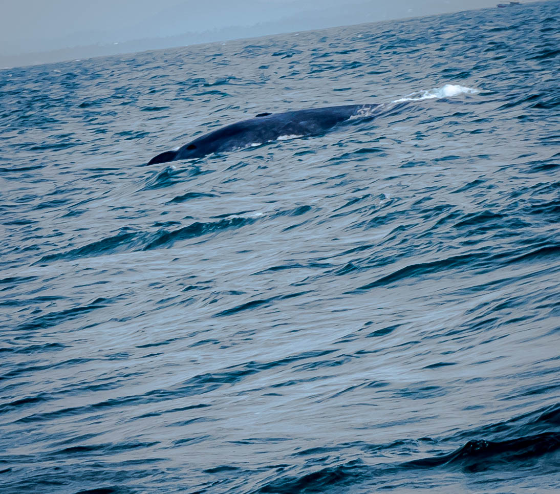 Blue Whale: not a great shot, but those things move fast!