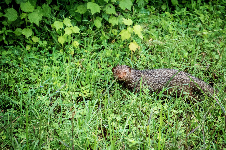mongoose at Yala National Park