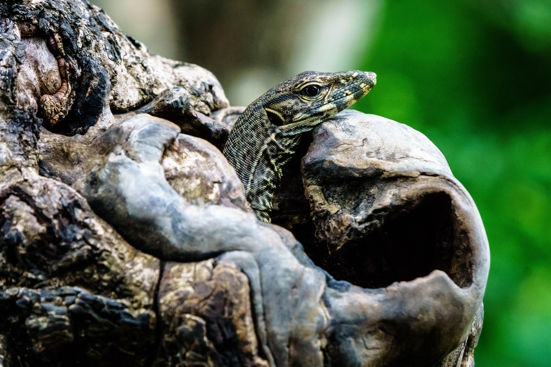 Lizard at Yala National Park