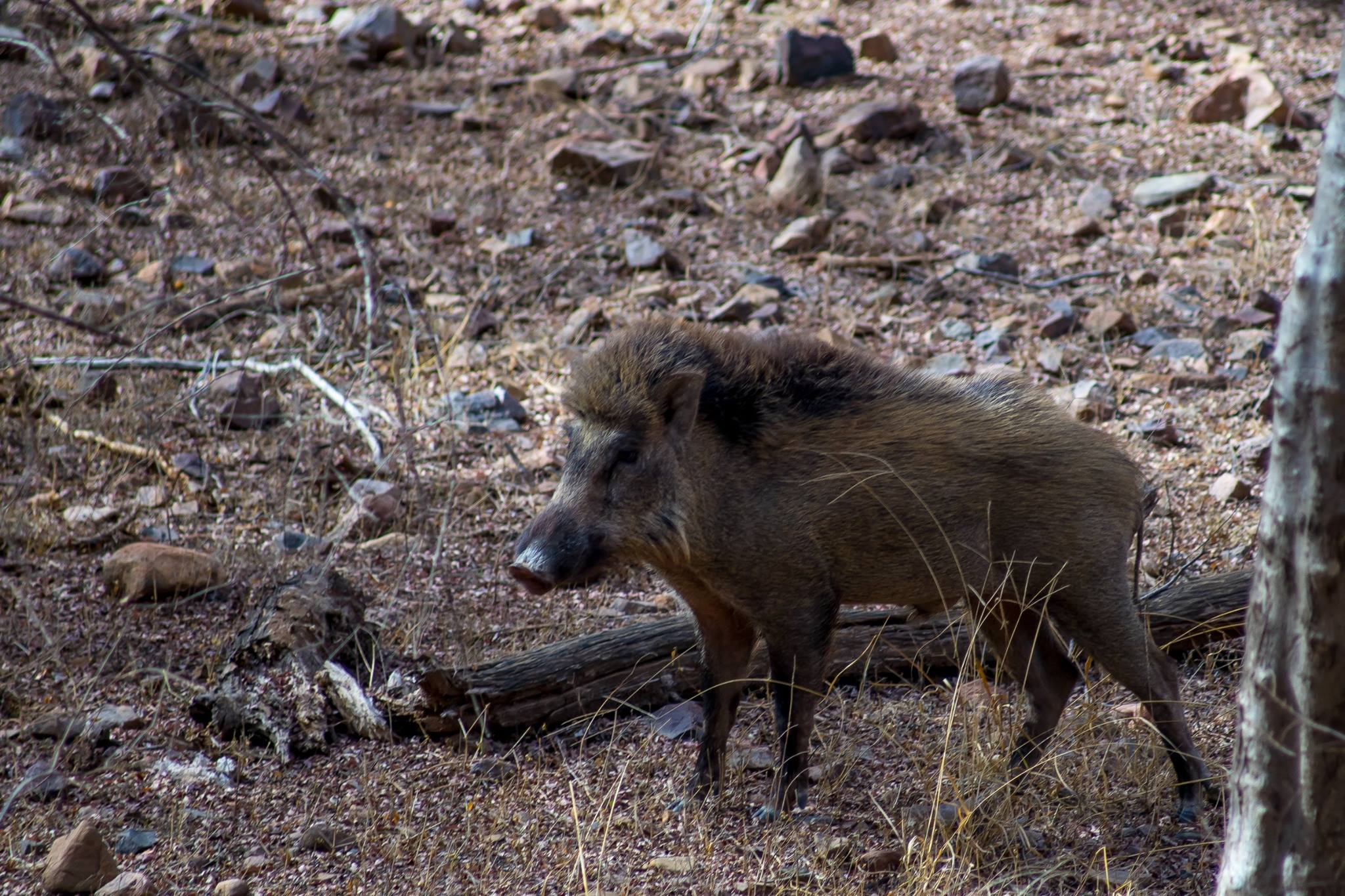 Wild boar at Ranthambhore