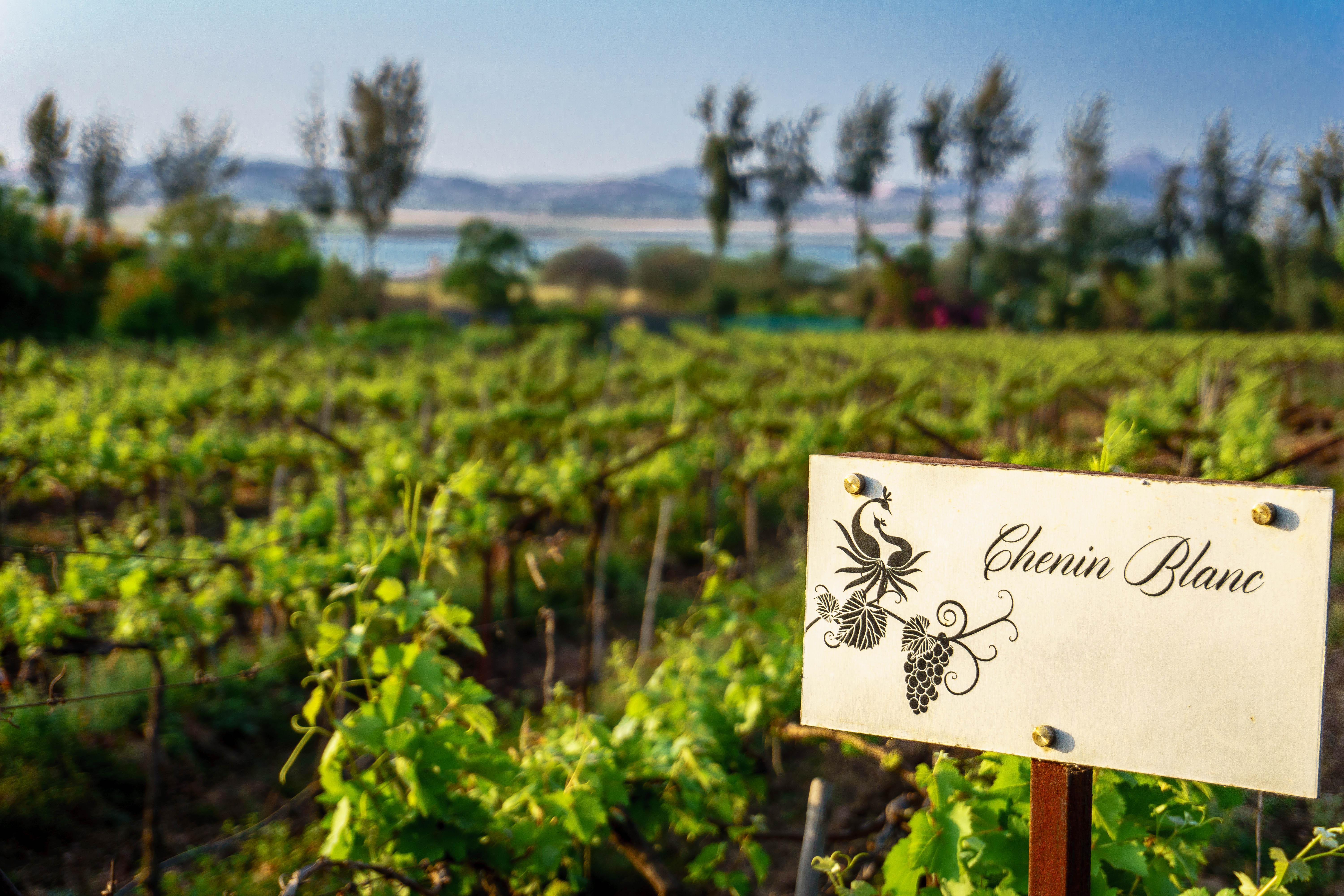 growing wine grapes at Sula