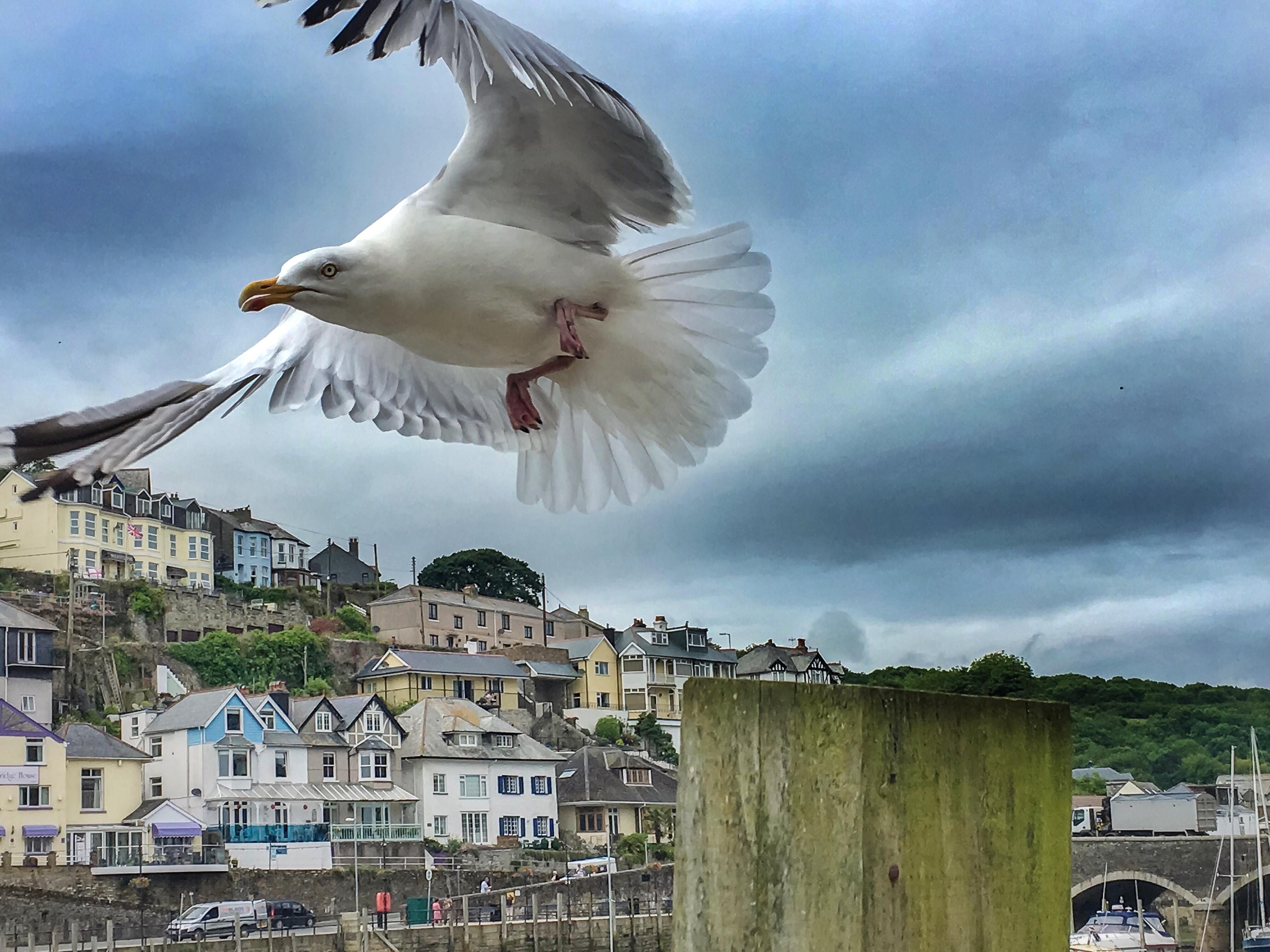 Seagull, Looe